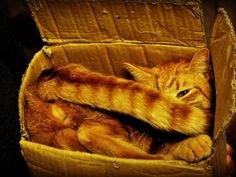 Cat in a Box -- Of course it's not too small!  Cato's box obsession reaches new depths.