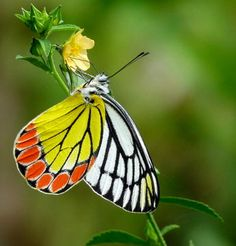 Delias eucharis -- The Common Jezebel is a medium-sized pierid butterfly found in many areas of South and Southeast Asia, especially in the non-arid regions of India, Sri Lanka, Myanmar and Thailand. The Common Jezebel is one of the most common species in the genus Delias.