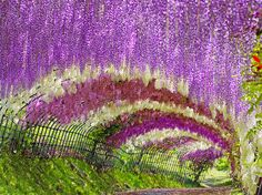 Wisteria Tunnel, Japan | 13 Enchanting Tree Tunnels You Need To Walk Through
