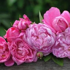 Sterk geurende rozen - De allermooiste klimrozen van Belle Epoque Flowers, Belle Epoque, Royal Icing Flowers, Flower, Florals, Floral, Blossoms