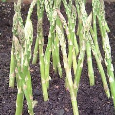 Asparagus has long been considered the ultimate gourmet vegetable, thanks to its delicious taste and delicate texture. Follow our guide to growing your own supply of fresh seasonal spears