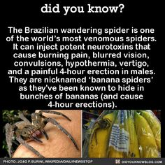 The Brazilian wandering spider is one of the world's most venomous spiders. It can inject potent neurotoxins that cause burning pain, blurred vision, convulsions, hypothermia, vertigo, and a painful 4-hour erection in males. They are nicknamed...