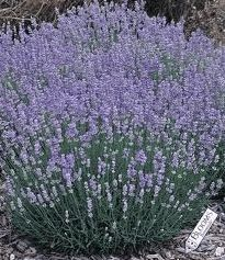 English Lavender along fence and alleyway, an absolute MUST in any of my herb gardens
