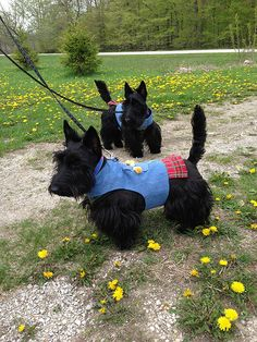 Ready for the Door County Scottie Rally