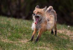 """500px / Photo """"Red Fox Vixen"""" by Walter Nussbaumer"""