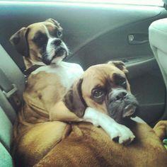 #boxer dog #boxer buddies