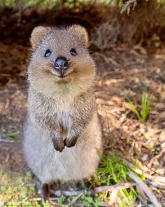 400+ Quokka ideas | quokka, happy animals, cute animals
