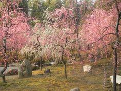 Plum Blossoms at Jonangu Shrine #VirtualTourist