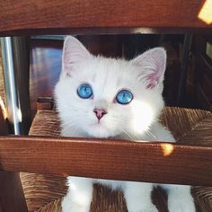 Did you know that cats that are born with white fur and blue eyes are usually