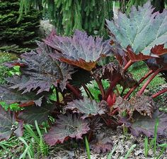 Rheum palmatum var. tanguticum The large, jagged leaves of this rhubarb bring architectural drama to a moist pond edge. As well as being a valuble ornamental plant, its red stems are full of flavour, making this a variety well worth growing as an edible crop. Divide the rootstock in spring with a knife, leaving one bud on each division, or sow seed in autumn. Full sun to partial shade.