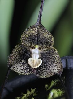 Dracula fuligifera - Flickr - Photo Sharing!
