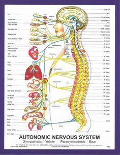 The autonomic nervous system, which acts as the control system, the organs of the . - The autonomic nervous system, which acts as the control system to run the body& organs, to ma - Peripheral Nerve, Peripheral Neuropathy, Nervous System Structure, Vértebra Cervical, Chiropractic Therapy, Chiropractic Benefits, Health Images, Autonomic Nervous System, Cranial Nerves