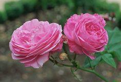 """""""Nie każdy miłośnik róż może poszczyć się wielkim ogrodem - ale każdy może się cieszyć tymi wspaniałymi kwiatami. Nie znajdziecie tu olbrzymiej kolekcji odmian ale praktyczne porady dotyczące nietypowej uprawy róż: w donicach na małej przestrzeni, na balkonach, tarasach, w centrum dużego miasta. Swoje różyczki hoduję od trzech lat a w zeszłym roku zajęłam się odmianami historycznymi. Jeśli jesteście ciekawi jak mi idzie i czy taka hodowla jest w ogóle możliwa, serdecznie zapraszam do…"""
