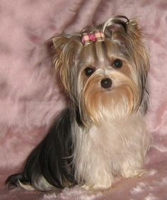 """""""We're not all spoiled, just accustomed to the possibility!: #dogs #pets #BiewerYorkshireTerriers > Biewer breed developed from Yorkies. facebook.com/sodoggonefunny"""