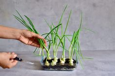 A super simple How-To for growing spring onions at home from food scraps, to re-use numerous times! Two methods that can both be done indoors, with little space and mess and no onion seeds necessary! Growing Spring Onions, Types Of Onions, Spring One, Spring Breakers, Spring Nail Colors, Spring Awakening, Water Flowers, Edible Flowers, Spring Rolls