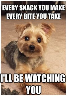 Yorkshire Terrier is one of the most popular dog breeds in the world, and despite their small size, Yorkies have Yorkies, Yorkie Puppy, Baby Yorkie, Teacup Yorkie, Maltipoo, Pomeranians, Cute Puppies, Cute Dogs, Dogs And Puppies