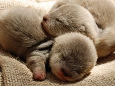 Baby otters are sleeping