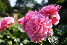 Rosa 'Tickled Pink' in the Kitchen Garden at Gravetye Manor