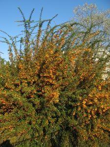 Achat kit de 7 plantes pour haie d fensive persistant le haie d fensive sont de plus en plus - Arbuste a boule rouge ...
