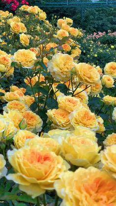 Wallpaper Nature Flowers, Beautiful Landscape Wallpaper, Beautiful Flowers Wallpapers, Beautiful Flowers Garden, Flowers Nature, Amazing Flowers, Love Flowers, Beautiful Roses, Yellow Flowers
