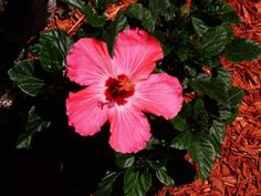 Care Of Hibiscus   Florida Landscaping Today