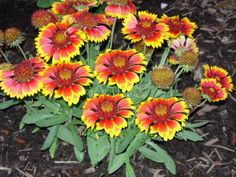 Gaillardia or Blanket Flower is known for its drought tolerance and display of vibrant yellow-red blooms lasting from June until August. Description from landscapedesignbylee.blogspot.com. I searched for this on bing.com/images