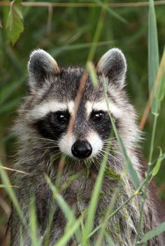 Baby Raccoon I Love Animals Cute Baby Animals Cute Forest Animals, Nature Animals, Woodland Animals, Animals And Pets, Baby Animals, Funny Animals, Cute Animals, Pretty Animals, Strange Animals