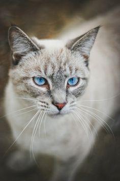 Blue Eyed Kitten by Alltheprettythings