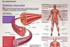 Músculs