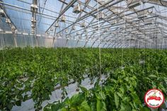 Greenhouse hydroponic chile peppers early stage of growth...