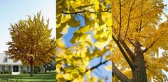 Ginkgo Tree - Deciduous - root: Bare - size: 4-5 ft. - $139.90 (SALE: $69.95) - Pest & drought resistant.  NO WORRIES! Male Ginko Biloba doesn't bear fruit which fall to the ground causing a sticky, stinky mess.