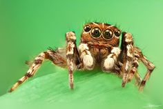 jumping spider on green by Javier Rupérez on 500px