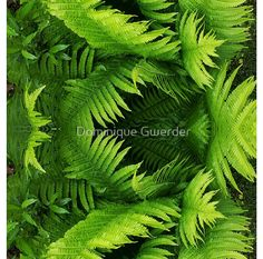'Fern world' A-Line Dress by Dominique Gwerder Lush Green, Ferns, My Design, World, Garden, Photography, Art, Art Background, Garten