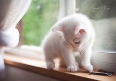 i want a little white kitten!