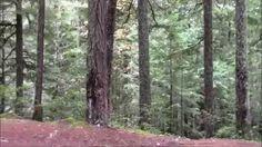 The Ripplebrook Bigfoot Sighting Oregon