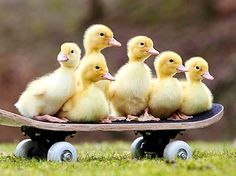 Top 10 Super Cute Images of Ducklings Cute Ducklings, Duck And Ducklings, Pet Ducks, Baby Ducks, Cute Baby Animals, Animals And Pets, Funny Animals, Exotic Animals, Animal Species