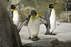 Montreal Biodome - King Penguins (Aptenodytes patagonica) in the Sub-Antarctic Islands at the Biodôme Quebec, Voyage Canada, King Penguin, Plant Species, Online Tickets, Penguins, Trip Advisor, Tourism, Animals