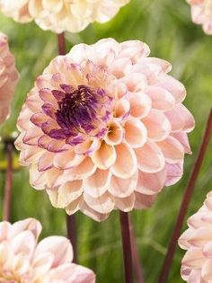 Wine Eyed Jill is a fabulous Dahlia variety that produces a perfectly formed ball-shaped head, made up of layers of gentle peach petals. Flowers all the way from June to late Summer Plants, Summer Flowers, Cut Flowers, Beautiful Flowers, Dahlia Flowers, My Flower, Flower Power, Flowering Shrubs, Romantic Flowers