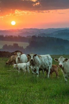 A few cattle on a farm make it so homey. Cows for milk for the family and those cute baby calves. Its all part of Gods plan. Farm Animals, Animals And Pets, Cute Animals, Country Farm, Country Life, Country Living, Country Roads, Beautiful Creatures, Animals Beautiful