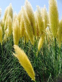 Benih yellow pampass grass Cuma 10rb isi 10 benih sms / wa 085777119992 line id : silkynazma