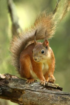 Red squirrel by Jelle Van de Veire on 500px