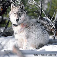 Tell Officials the Killing of Yellowstone Wolves Has to Stop!    http://theanimalrescuesite.greatergood.com/clickToGive/campaign.faces?siteId=3=DOW-HandsOffYellowstoneWolves#