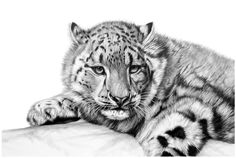 Welcome to the fine art gallery and online shop of Richard Symonds where you can buy limited edition prints of elephants, tigers, lions and other wildlife art. Tiger Drawing, Tiger Painting, Wildlife Paintings, Wildlife Art, Pencil Drawings Of Animals, Art Drawings, South African Artists, Bear Art, Snow Leopard