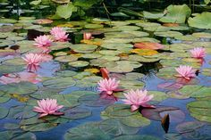 """That's a painting! RT RT """"Water lilies by Licio Passon - """" Water Lilies Painting, Monet Water Lilies, Watercolor Landscape, Landscape Paintings, Watercolor Paintings, Venice Painting, Draw On Photos, Lily Pond, Italian Painters"""