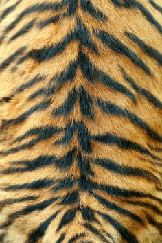 Texture of real tiger skin - Buy this stock photo and explore similar images at Adobe Stock Cheetah Print Wallpaper, Wallpaper Iphone Cute, Flower Wallpaper, Tiger Skin, Pet Tiger, Tiger Drawing, Sketching Techniques, Cat Background, Adventure Aesthetic
