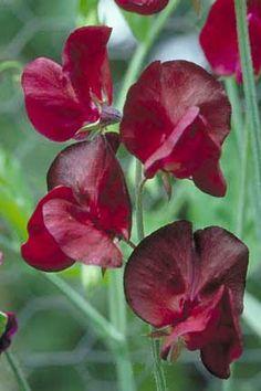 Lathyrus odoratus 'Black Diamond' Spencer Sweet Pea
