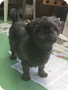 Lola is a senior Shih Tzu up for adoption at the Humane Society of New York.