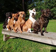 The staffygang Staffordshire Bullterrier HP Stolpe Staffy - instagram @winnie_the_staffy, Our staffygang in sävar, umeå Northern Sweden Nannydog Laughingdog Staffylove Staffy