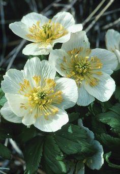 L'anemone - Fiori e piante da piantare in primavera in balcone o in giardino