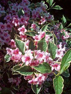 Weigela variegata. http://www.mandycanudigit.co.uk/#!deciduous-shrubs/c6h1